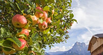 Suedtirol; Ritten, bei Unterinn, Obstanbau, Apfel,